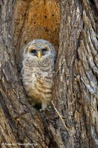 1194 Barred Owl Chick, Hagerman National Wildlife Refuge, TX