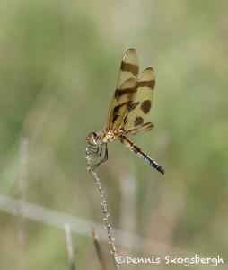 1195 Dragonfly, Halloween Pennant, Wichita Mountains National Wildlife Refuge, OK