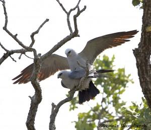 1197 Mississippi Kites, Mating, Wichita Mountains National Wildlife Refuge, OK
