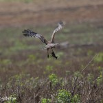 1199 Hawk, Crayfish, Hagerman National Wildlife Refuge,TX