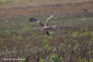 1199 Hawk, Crayfish, Hagerman National Wildlife Refuge,TX