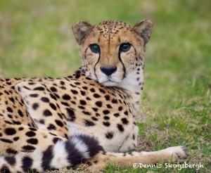 1203 Cheetah, Fossil Rim Wildlife Center, TX