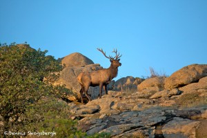 1204 Bull Elk, Wichita Mountains National Wildlife Refuge, OK