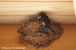 1212 Barn Swallow and Young