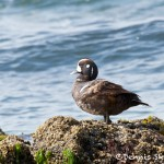 1264 Female Harlequin Duck, OR