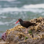 1265 Black Oyster Catcher, OR