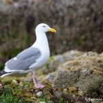 1266 Herring Gull