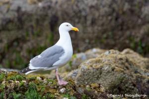 1266 Herring Gull