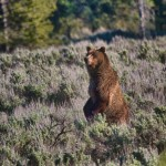1280 Grizzly bear, Grand Teton National Park, WY