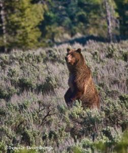 1280 Grizzly bear, Grand Teton National Park, WY