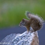 1296 Red Squirrel, Grand Teton National Park, WY