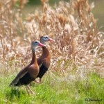 1345 Black-bellied Whistling Ducks, Block Creek Natural Area-Turkey Hollow, TX
