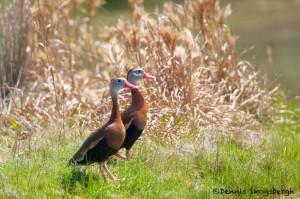 1345 Black-bellied Whistling Ducks, Block Creek Natural Area-Turkey Hollow, TX