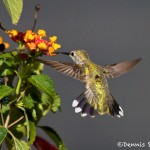 1346 Female Black-chinned Hummingbird, TX