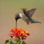 1348 Male Black-chinned Hummingbird, TX