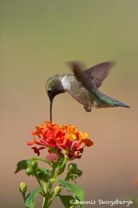 1348 Male Black-chinned Hummingbird, TX