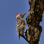 1356 Ladder-backed Woodpecker, TX