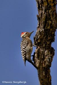 1356 Ladder-backed Woodpecker, TX