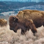 1365 Bison, Wichita Mountains National Wildlife Refuge, OK