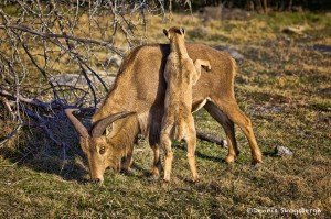 1367 Female Aoudad and Lamb, Fossil Rim Wildlife Center, TX