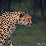 1369 Cheetah (Acinonyx jubatus)
