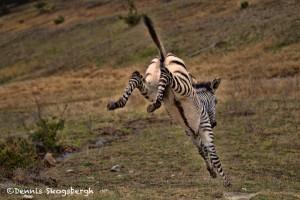 1370 Frolicking Foal Zebra, Fossil Rim Wildlife Center, TX