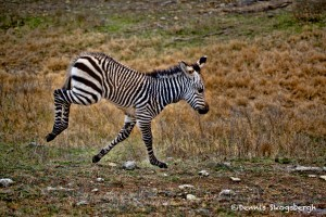 1371 Frolicking Foal Zebra, Fossil Rim Wildlife Center, TX
