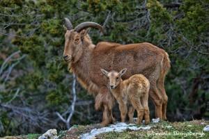 1372 Female Aoudad and Lamb, Fossil Rim Wildlife Center, TX