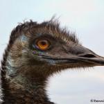 1373 Emu (Dromaius novaehollandiae)