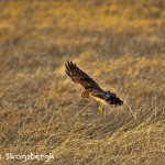 1374 Northern Harrier Hunting, Hagerman National Wildlife Refuge, TX