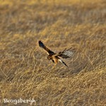 1375 Northern Harrier Hunting, Hagerman National Wildlife Refuge, TX