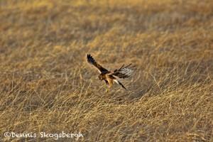 1375 Northern Harrier Hunting, Hagerman National Wildlife Refuge, TX