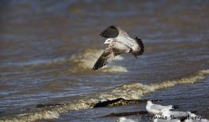 1378 Ring-billed gull wintering at Hagerman National Wildlife Refuge, TX