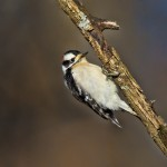 1379 Adult male Downy Woodpecker, Hagerman National Wildlife Refuge, TX