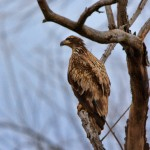 1380 Immature Bald Eagle, Sequoya National Wildlife Refuge, OK
