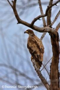 1380 Immature Bald Eagle, Sequoya National Wildlife Refuge, OK