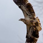 1381 Immature Bald Eagle, Sequoya National Wildlife Refuge, OK