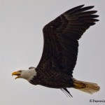 1383 Bald Eagle, Sequoya national Wildlife Refuge, OK