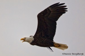 1383 Bald Eagle, Sequoya national Wildlife Refuge, OK