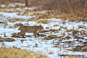 1384 Bobcat, Holla Bend National Wildlife Refuge, AR