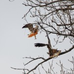 1386 Red-tailed Hawk confronting an Immature Bald Eagle, Holla Bend National Wildlife Refuge, AR