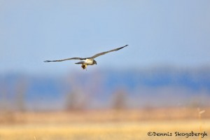 1387 Hawk in flight with rodent, Holla Bend National Wildlife Reguge, AR