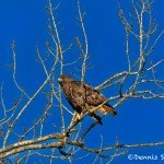 1387 Red-tailed Hawk, Holla Bend National Wildlife Refuge, AR