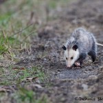 1389 Opossum, Bend National Wildlife Refuge, AR