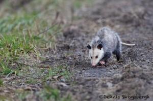 1389 Opossum, Bend National Wildlife Refuge, AR