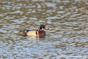 1390 Male Wood Duck, Turkey Hollow, TX