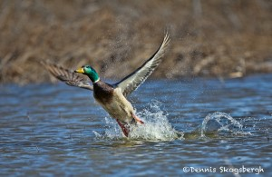 1399 Male Mallard, Hagerman National Wildlife Refuge, TX