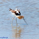 1421 American Avocet, summer plumage, Hagerman National Wildlife Refuge, Texas