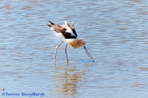 1421 American Avocet, summer plumage, Hagerman National Wildlife Refuge, Texas
