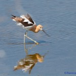 1422 American Avocet, summer plumage, Hagerman National Wildlife Refuge, Texas